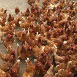 Starke Trecker und unzählige Hühner
